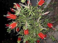 Callistemon citrinus - Fırça çalısı - Crimson bottle brush - Callistemon citrinus - Fırça çalısı - Crimson bottle brush - Callistemon citrinus - Fırça çalısı - Crimson bottle brush (9154)