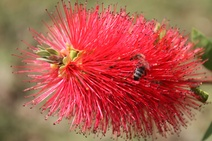Callistemon spp.- Fırça çalıları - Bottle brushes