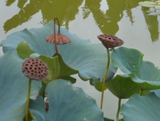 Nelumbo spp. - Lotus - Indian lotus - Nelumbo spp. - Lotus - Indian lotus - Nelumbo spp. - Lotus - Indian lotus (5561)