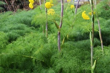 Ferula communis - Çakşır otu - The giant fennel - Ferula communis - Çakşır otu - The giant fennel - Ferula communis - Çakşır otu - The giant fennel (9277)
