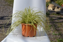 "Carex oshimensis ""evergold"" - Kareks - Japanese sedge"