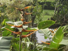 Heliconia spp. - Helikonya - Lobster claws - Heliconia spp. - Lobster-claws - Heliconia spp. - Helikonya - Lobster claws (5487)