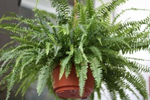 Nephrolepis spp. - Aşk merdiveni - The sword fern