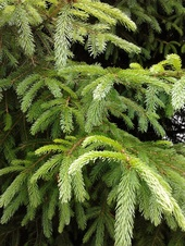 Picea abies - Avrupa ladini - Norway spruce - Picea abies - Avrupa ladini - Norway spruce - Picea abies - Avrupa ladini - Norway spruce (2867)