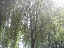 Salix alba - Aksöğüt - White willow