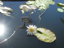 Nymphaea spp. - Nilüfer - Waterliliy - Nymphaea spp. - Nilüfer - Waterliliy - Görsel (1837)