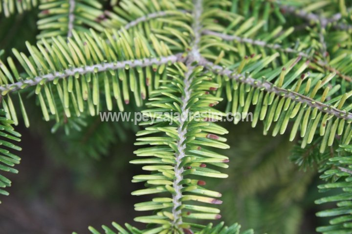 Abies arizonica - Göknar - Fir Görseli
