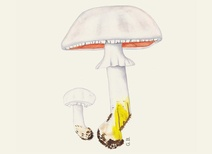 Agaricus xanthoderma - Mantar - Yellow stainer