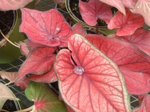 Caladium spp. - Melek kanadı bitkisi - Angel wings