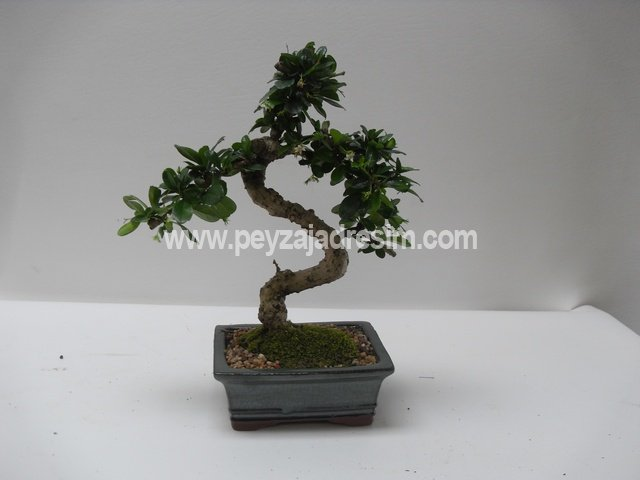 Bonsai Görseli