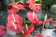 Anthurium spp. - Flamingo çiçeği - Flamingo flower - Anthurium spp. - Flamingo çiçeği - Flamingo flower - iç mekan bitkisi (2113)