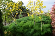 Ferula communis - Çakşır otu - The giant fennel - Ferula communis - Çakşır otu - The giant fennel - Ferula communis - Çakşır otu - The giant fennel (9269)