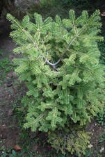 Abies arizonica - Göknar - Fir - Abies arizonica - Göknar - Fir - Abies arizonica - Göknar - Fir (3280)