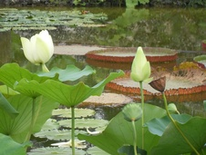 Nelumbo spp. - Lotus - Indian lotus - Nelumbo spp. - Lotus - Indian lotus - Nelumbo spp. - Lotus - Indian lotus (5560)