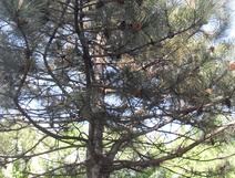 Pinus nigra - Kara çam - The European black pine