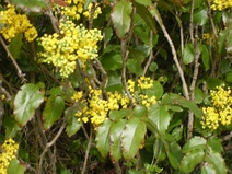 Mahonia aquifolium - Mahonya - Oregon grape