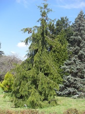 Picea abies - Avrupa ladini - Norway spruce - Picea abies - Avrupa ladini - Norway spruce - Picea abies - Avrupa ladini - Norway spruce (4211)