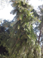 Picea abies - Avrupa ladini - Norway spruce - Picea abies - Avrupa ladini - Norway spruce - Picea abies - Avrupa ladini - Norway spruce (3587)