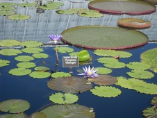 Nymphaea spp. - Nilüfer - Waterliliy - Nymphaea spp. - Nilüfer - Waterliliy - Görsel (1806)