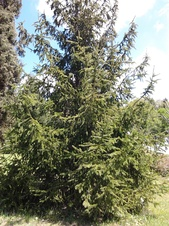 Picea abies - Avrupa ladini - Norway spruce - Picea abies - Avrupa ladini - Norway spruce - Picea abies - Avrupa ladini - Norway spruce (3581)