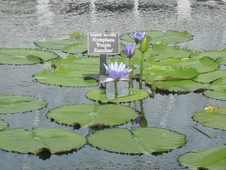 Nymphaea spp. - Nilüfer - Waterliliy - Nymphaea spp. - Nilüfer - Waterliliy - Görsel (1811)