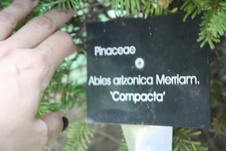 Abies arizonica - Göknar - Fir - Abies arizonica - Göknar - Fir - Abies arizonica - Göknar - Fir (3279)