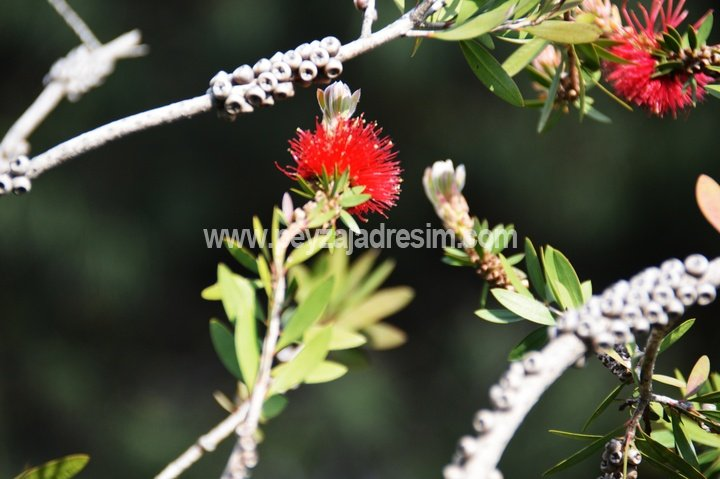 Callistemon citrinus - Fırça çalısı - Crimson bottle brush Görseli