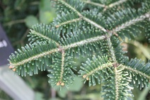 Abies nebrodensis - Göknar - Fir