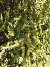 Picea abies - Avrupa ladini - Norway spruce - Picea abies - Avrupa ladini - Norway spruce - Picea abies - Avrupa ladini - Norway spruce (3580)