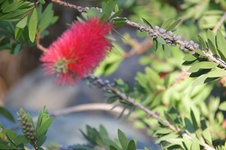 Callistemon citrinus - Fırça çalısı - Crimson bottle brush - Callistemon citrinus - Fırça çalısı - Crimson bottle brush - Callistemon citrinus - Fırça çalısı - Crimson bottle brush (7362)