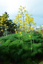 Ferula communis - Çakşır otu - The giant fennel - Ferula communis - Çakşır otu - The giant fennel - Ferula communis - Çakşır otu - The giant fennel (9274)
