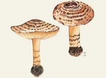 Lepiota bruneoincarnata - Mantar - The red-brown parasol mushroom