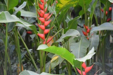 Heliconia spp. - Helikonya - Lobster claws - Heliconia spp. - Helikonya - Lobster claws - Heliconia spp. - Helikonya - Lobster claws (8548)
