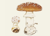 Amanita pantherina - Mantar - Panthercap