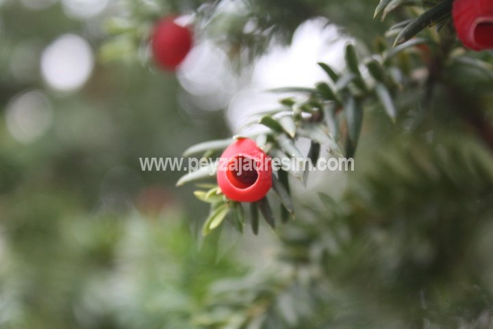 Taxus baccata - Porsuk - English yew Görseli