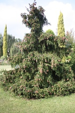 Picea abies - Avrupa ladini - Norway spruce - Picea abies - Avrupa ladini - Norway spruce - Picea abies - Avrupa ladini - Norway spruce (3257)