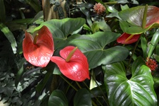 Anthurium spp. - Flamingo çiçeği - Flamingo flower - Anthurium spp. - Flamingo çiçeği - Flamingo flower - iç mekan bitkisi (3842)