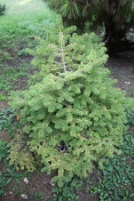 Abies arizonica - Göknar - Fir - Abies arizonica - Göknar - Fir - Abies arizonica - Göknar - Fir (3281)