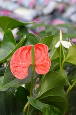 Anthurium spp. - Flamingo çiçeği - Flamingo flower - Anthurium spp. - Flamingo çiçeği - Flamingo flower - iç mekan bitkisi (9742)