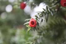 Taxus baccata - Porsuk - English yew