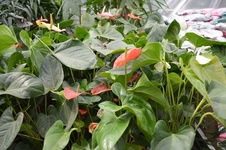 Anthurium spp. - Flamingo çiçeği - Flamingo flower - Anthurium spp. - Flamingo çiçeği - Flamingo flower - iç mekan bitkisi (9741)