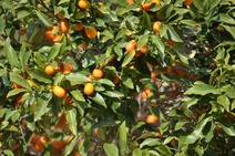 Fortunella crassifolia - Kumkat - Meiwa kumquat