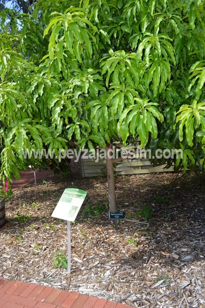 """production of mango mangifera indica in"