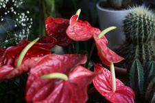 Anthurium spp. - Flamingo çiçeği - Flamingo flower - Anthurium spp. - Flamingo çiçeği - Flamingo flower - iç mekan bitkisi (2112)
