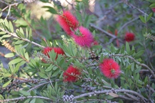 Callistemon citrinus - Fırça çalısı - Crimson bottle brush - Callistemon citrinus - Fırça çalısı - Crimson bottle brush - Callistemon citrinus - Fırça çalısı - Crimson bottle brush (7361)