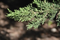 Juniperus excelsa - Bozardıç - Greek juniper