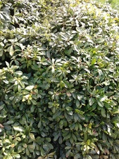 Pittosporum tobira - Pittosporum - Japanese pittosporum - Pittosporum tobira - Pittosporum - Görsel (2997)
