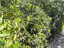 Pittosporum tobira - Pittosporum - Japanese pittosporum