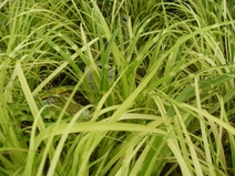 Miscanthus sinensis - Miskantus - Chinese silver grass