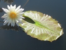 Nymphaea spp. - Nilüfer - Waterliliy